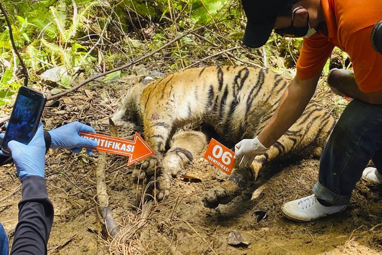3 Harimau Sumatera yang Terancam Punah Ditemukan di Indonesia