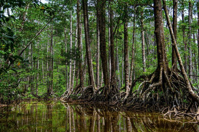 Memulihkan mangrove dengan benar memiliki manfaat ekonomi dan lingkungan yang nyata