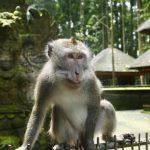 Apakah sudah waktunya untuk memikirkan kembali hutan monyet Bali?  |  berita pandemi virus corona